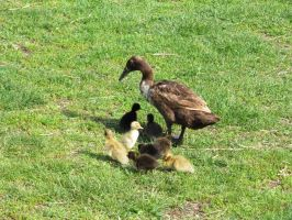 Runner duck and babies: stock by Lythre-does-photos