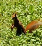 Red Squirrel Berlin by lou250blue
