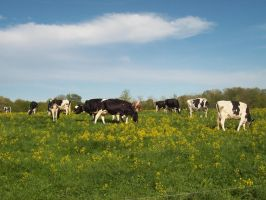 dairy cows in the field by icrybehindsunglasses