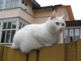 A white cat by musicalcat