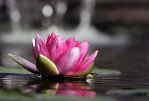 Water Lily by AlinaKurbiel