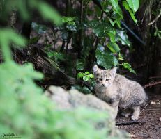 Wildcat. by DominikJPhotography