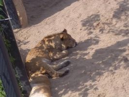 Sleepy Lion by Sabbelbina