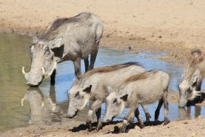 Warthog - African Wildlife - Mom's Piglets by LivingWild