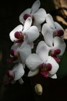 White and Purple Orchids by melz28cam