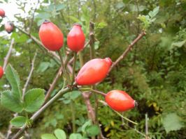 Rose Hip 02 by Fea-Fanuilos-Stock