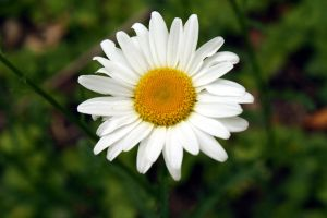 The Asteraceae by Laufoo