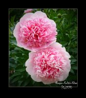 Double Pink Peony by Dragon-Celtic-Chan