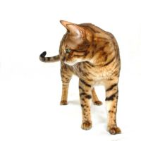 Brown Spotted Bengal Cat 20141116-1 by FurLined