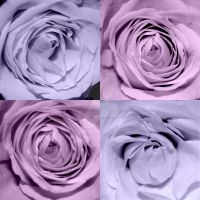 Roses by Saved-from-Myself