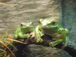 Stock: Tree Frogs by I-L0VE-Y0UR-M0M