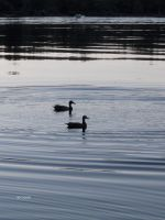 More Ducks by canadianman000