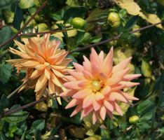 awesome dahlias 12 by ingeline-art