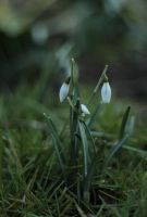 252 - Snowdrops... by AnnaMagdalenaPe