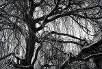 Whispering Willow by RenaXtreme