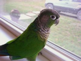 Green Cheecked Conure by PhotoBoothLoveXx