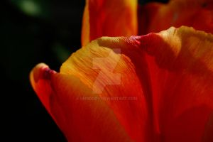 Red tulip closeup by umboody