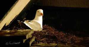 A gull on her nest... by faatxhorse