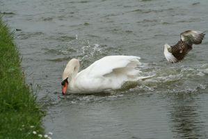 Duck and Swan by tammyins