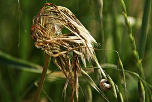 Seeds of meadow salsify 3 by Gerfer