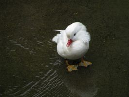 Animals 138 white mandarin duck by Dreamcatcher-stock