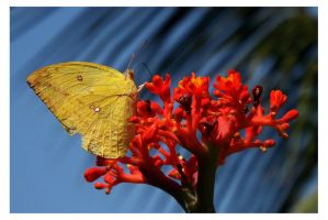 Butterfly 121 (Three-spot Grass Yellow) by kiew1