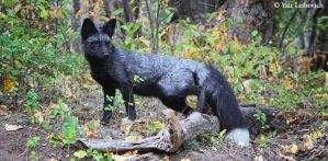 silver-phase fox by Yair-Leibovich