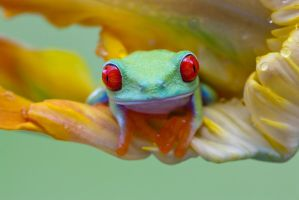 Little red eyed tree frog by AngiWallace