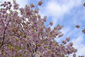 Blossoms and Sky by Splippyfop