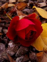 rose... by magamy