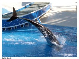 False Killer Whale Tale by Della-Stock