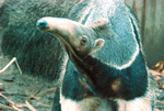 Anteater by YLimes