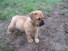 Bull mastiff puppy: stock by Lythre-does-photos