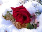 Winters Rose by MadameDolores
