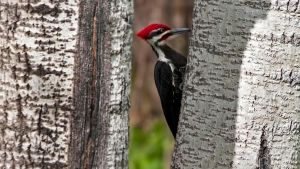 Framed Pilated Woodpecker by MichelLalonde