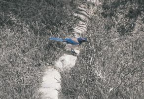 Scrub Jay by nickcomito