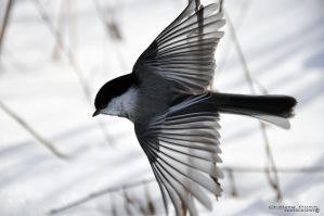 Black-capped Chickadee V by Chaotic-Chelly