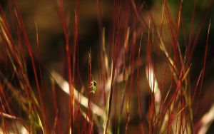 Bug on Red Grass ws by norif