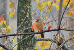 Female Cardinal 11-27-12 by Tailgun2009