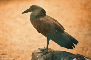 Hammerkop by too-much4you