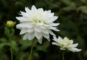 white dahlias by ingeline-art