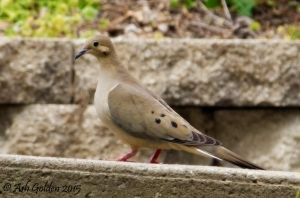 Mourning Dove Pose by SnakeGeisha