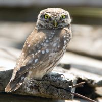 Stop looking at my Hooter - Little owl by Jamie-MacArthur