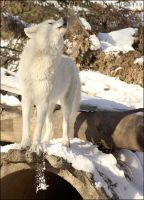White-furred Alpha by cursedsight