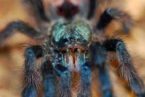 Avicularia close up II by LeoGg