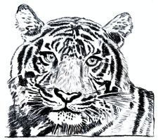tiger No2 charcoal B+W by EwaBlackWidowVsHare