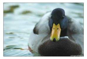 duck by finepix-at