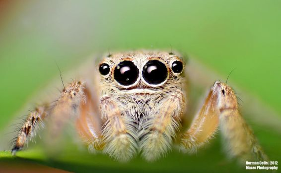 Jumping Spider by basticelis