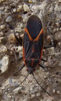 Box Elder Bug closeup by captpackrat