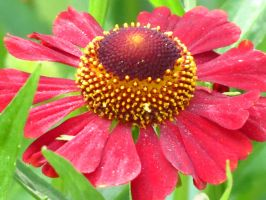 Red Jewel Helenium by Kitteh-Pawz